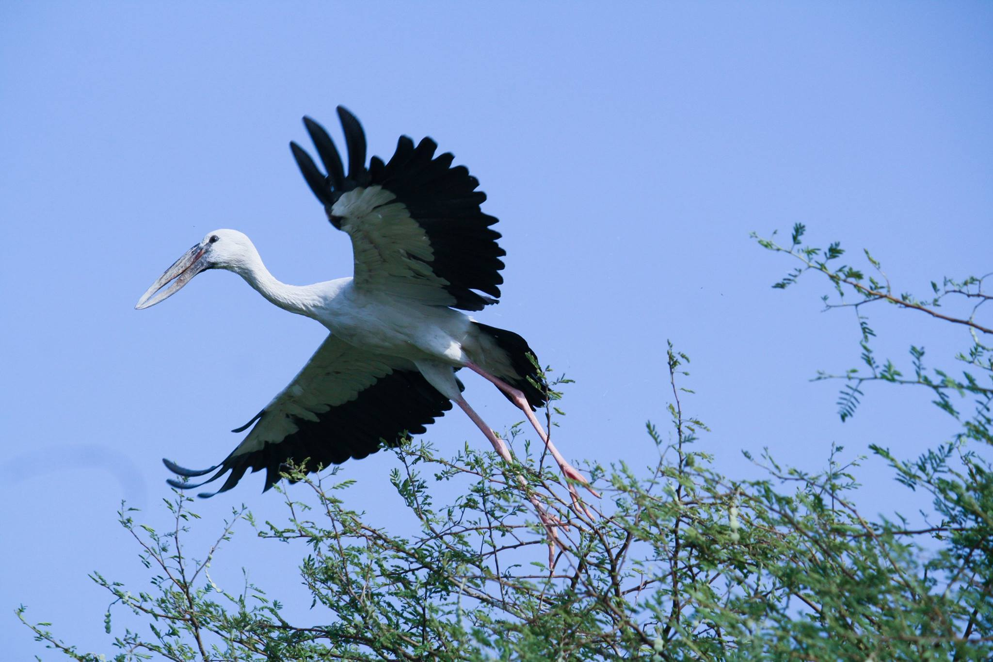 Asian Open bill stork