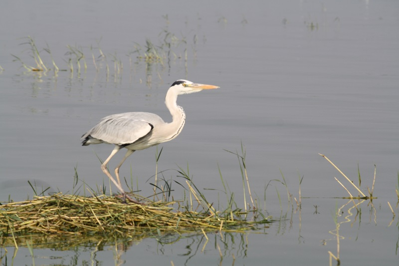 Intermediate Egret.jpg