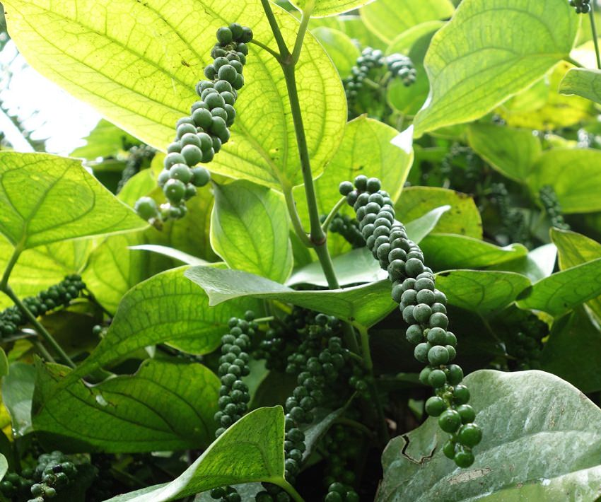 black-pepper plant