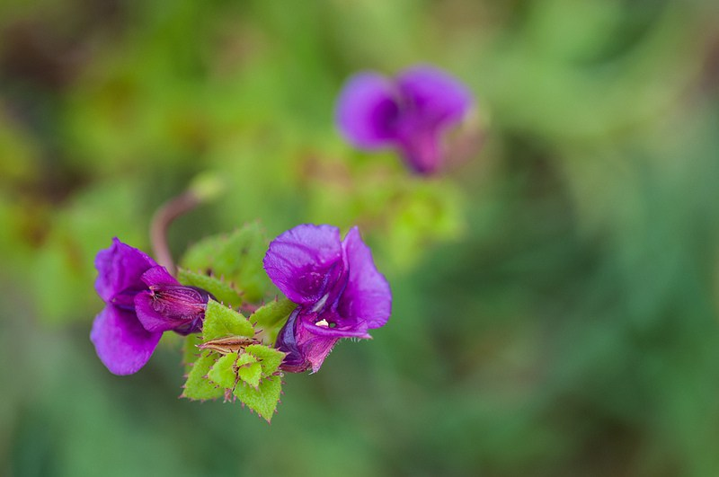 flowers in Kas pathar3