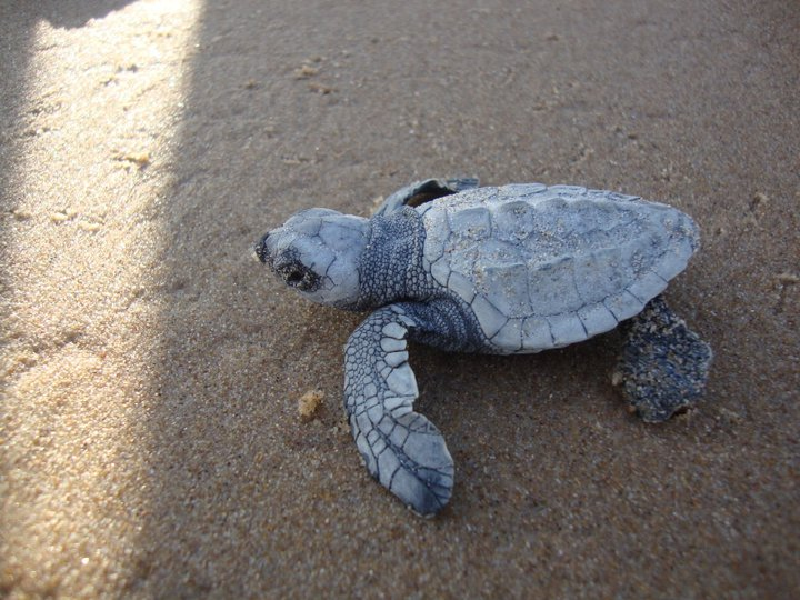 Olive Ridley Turtles nesting ground in Odisha